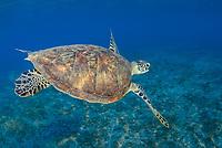 green sea turtle, Chelonia mydas, endangered species, Wadi El Gamal National Park, Marsa Alam, Egypt, Red Sea, Indian Ocean