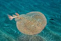 marbled electric ray, Torpedo marmorata, El Cabron Marine Park, Arinaga, Gran Canaria, Canary Islands, Spain, Atlantic Ocean