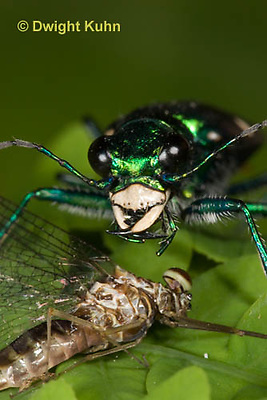 1C35-545z  Six-spotted Green Tiger Beetle - Cirindela sexguttata - close-up of head and jaws, eyes - consuming Mayfly adult