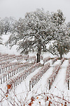 A bare oak tree in the middle of a snow-covered vineyard at Young's Vineyard in Amador County's Shenandoah Valley wine grape growing area, Calif.