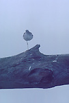 Puget Sound, Shorebirds, Skagit River Estuary fog, Lesser yellowlegs (Tringa flavipes) sleeping on one leg, shorebird, Washington State, Pacific Northwest, USA,.