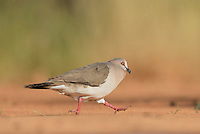 White-tipped Dove (Leptotila verreauxi), adult running, Rio Grande Valley, South Texas, Texas, USA