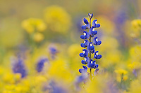 Wildflower field with Texas Bluebonnet, Lupinus texensis, Gonzales County, Texas, USA