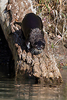 River Otter walking down a log into some water - CA