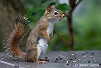 0705-1006  Red Squirrel on Alert While Foraging for Seeds on House Patio, Tamiasciurus hudsonicus  © David Kuhn/Dwight Kuhn Photography