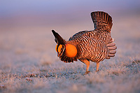 Male Greater Prairie-Chicken (Tympanachus cupido) displaying on a lek. Booming is a low frequency 3-syllable sound produced by the syrinx and amplified by the esophageal air sacs of males. During the Booming display males produce sounds by stamping their feet, Wing-shaking, and Tail-clicking. Ft. Pierre National Grassland, South Dakota. April.
