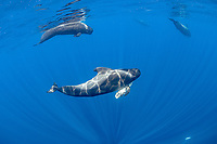 Short-finned pilot whale (Globicephala macrorhynchus) female carrying dead calf, with others swimming nearby, South Tenerife, Canary Islands, Atlantic Ocean
