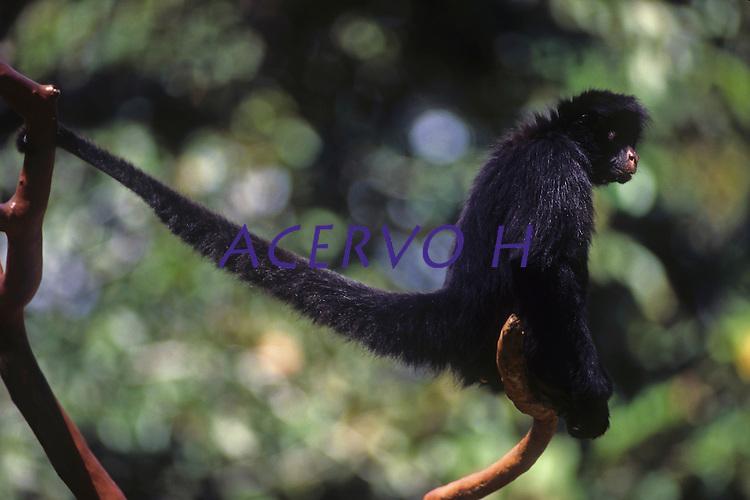 Macaco aranha no viveiro do parque zoobotânico de carajás.<br /> Carajás, Pará, Brasil.<br /> Foto Paulo Santos<br /> <br /> Percorrer até 2.000 m de distância, passam metade do tempo descansando e a outra metade despendida entre alimentação e deslocamento.<br /> Possui pelagem que varia do marrom escuro ao preto na face dorsal do corpo e pelagem de coloração creme, em sua face ventral. Pêlos branco-amarelados estão presentes na testa e nas costeletas. Habita, as florestas altas de terra firme, ocupando florestas sazonalmente inundadas, pois oferecem maior abundância de frutos. Frugívoro. Seu deslocamento é caracterizado pela braquiação. Utilizada como um quinto membro, a cauda preênsil possibilita uma agilidade no deslocamento e uma versatilidade de apoio para a manipulação de frutos. Os grupos sociais são formados de 16 a 40 indivíduos. A gestação se dá em torno de 230 dias e o filhote permanece junto à mãe durante os primeiros 4 meses de vida.  A área de vida varia entre 250 e 400 ha. Podem ser encontrados desde o nível do mar até 2.500 m de altitude (RAVETTA, 2008).
