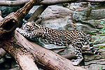 ocelot full body view stretching and yawning on fallen tree
