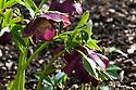 Helleborus x hybridus 'Dark Picotee', late February.