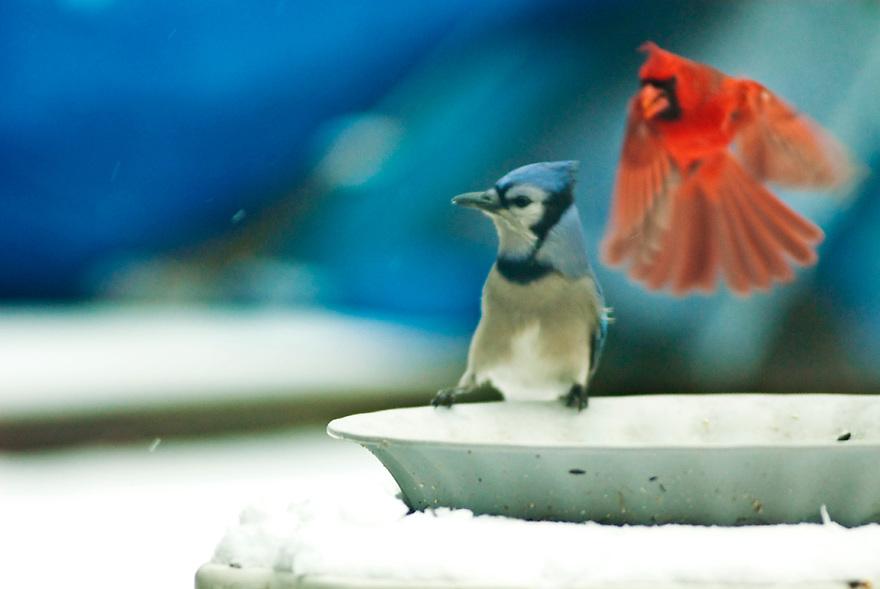 Cardinal attacks Blue Jay at the bird feeder in Valparaiso, Indiana by Liisa Roberts