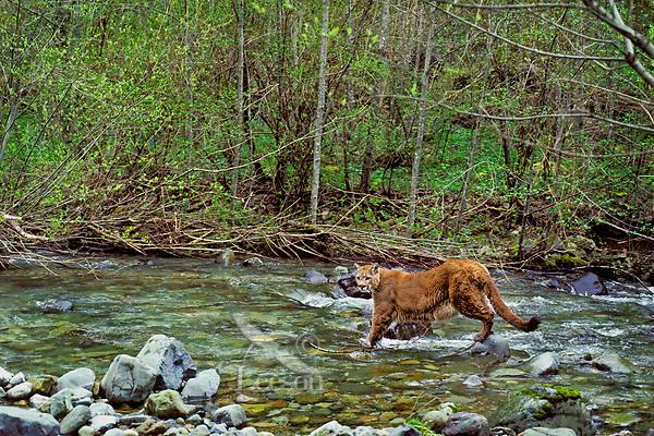 Mountain lion, cougar, or puma (Felis concolor) crossing stream, Pacific Northwest.  Spring.