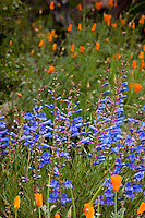 Blue flowering perennial Penstemon heterophyllus (Blue Bedder) with orange poppies in Kyte California native plant garden
