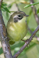 Common Yellowthroat perched in the Y of a tree branch