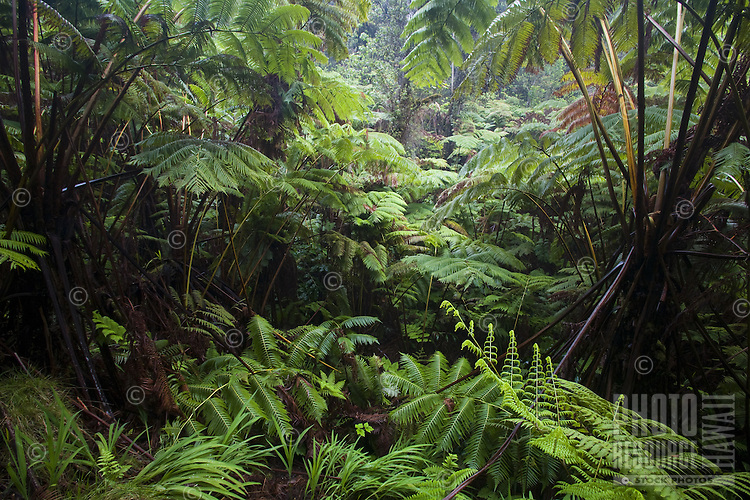 Jungle of large ferns near the Thurston Lava Tube in Hawaii Volcanoes National Park on the Big Island of Hawaii
