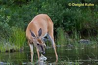 MA11-545z  Northern (Woodland) White-tailed Deer eating pond plants, Odocoileus virginianus borealis