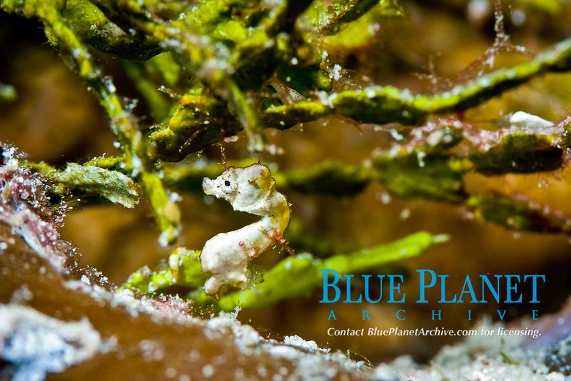 coleman's pygmy seahorse, hippocampus colemani