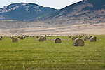 Pronghorn Antelope in hay field in Montana