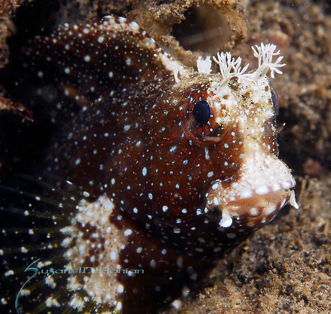 Starry Blenny juv, Salarius ramosus, Lembeh Straits, Sulawesi Sea, Indonesia, Amazing Underwater Photography