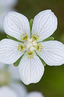 Sumpf-Herzblatt, Sumpfherzblatt, Herzblatt, Parnassia palustris, Grass of Parnassus, Parnassie des marais
