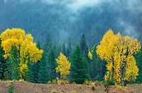 749450050 narrow leaf cottonwoods populus angustifolia in brilliant yellow fall color surrounded by fog shrouded blue spruce picea pungens on an autumn morning near oxbow bend in grand tetons national park wyoming