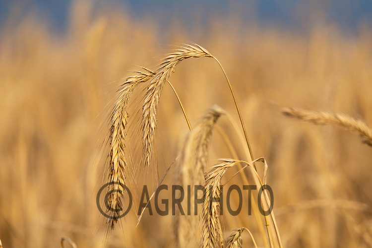 12-8-2021 Rye being grown for use in pig feed<br /> ©Tim Scrivener Photographer 07850 303986<br />      ....Covering Agriculture In The UK....