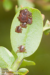 Asian longhorned ticks, Haemaphysalis longicornis, invasive species, new tick in town