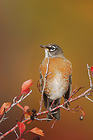American Robin, Turdus migratorius, female eating berries of Black Hawthorn (Crataegus douglasii) fallcolors snow, Grand Teton NP,Wyoming, September 2005