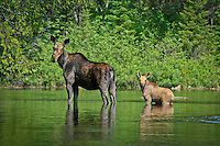 """""""Moose with Calf""""<br /> <br /> A cow moose and her calf wade across a shallow bay in the Boundary Waters Canoe Area Wilderness (BWCAW)."""