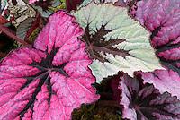 Begonia rex hybrid, pink, green, neon foliage leaves