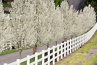 Flowering pear trees of home driveway. Near Woodburn. Oregon