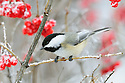 00175-012.11 Black-capped Chickadee is perched in a high bush cranberry shrub that is covered in rime frost.  Hoar, cold, winter, red, fruit, berries.