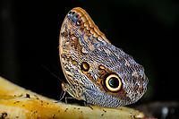 Owl Butterfly Caligo species, Selva Verde Nature Reserve, Rio Sarapiqui region, Heredia, Costa Rica