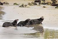 southern sea otter, Enhydra lutris nereis, aka California sea otter, hauling out on the beach, Moss Landing, Monterey Bay National Marine Sanctuary, Monterey, California, USA, Pacific Ocean