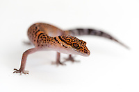 """Bawangling Leopard Gecko (Goniurosaurus bawanglingensis) - Hainan Island, China - Genus of 17 Geckos found only in China, Japan and Vietnam - Not listed by IUCN but two species of Goniurosaurus are classified as Endangered. """"Currently almost all members of the genus Goniuorosaurus are popular in the international pet trade; this has already caused the local extinction of the related G. luii at its type locality in southern China shortly after its description."""" IUCN Red List website"""