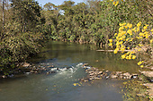 Nova Brasilandia, Brazil. Igarape with Ipe Amarelo tree.