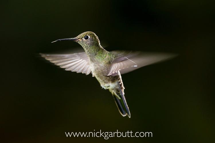 Sombre Hummingbird (Aphantochroa cirrochloris, syn. Campylopterus cirrochloris) hovering infront of feeder. Serra dos Tucanos, Atlantic Rainforest, Brazil. Brazilian endemic species (family: Trochilidae).