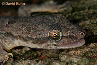 0507-08ss  Flat-tailed House Gecko, Vocalization by Barking, Cosymbotus platyurus © David Kuhn/Dwight Kuhn Photography