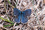karner blue butterfly male sitting on grass, concord, new hampshire