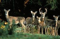 White-tailed deer herd