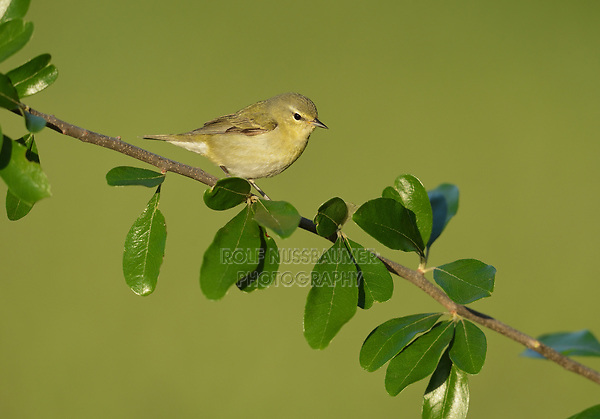 Tennessee Warbler (Vermivora peregrina), adult perched, South Padre Island, Texas, USA