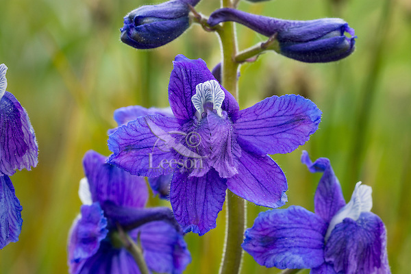 Little Larkspur or low larkspur (Delphinium bicolor) found in the Intermountain West with this image taken in Sagebrush steppe.  Montana, June.