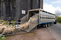 18-5-2021 Sheep being moved under the viaduct at Harringworth, Rutland<br /> ©Tim Scrivener Photographer 07850 303986<br />      ....Covering Agriculture In The UK....