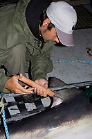 Joey Pratt, research director of Canadian Shark Conservation Society, places a spaghetti tag into the dorsal fin of a porbeagle shark, Lamna nasus, for research, New Brunswick, Canada (Bay of Fundy)