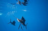 Schooling Atlantic sailfish feed on a sardine baitball, Isla Mujeres, Yucatan, Mexico