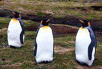 King Penguins<br />Animals - Antartica<br />South Georgia Island<br />© Explorer-Images / Jay Watson