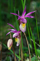 The Calypso orchid (Calypso bulbosa), also known as the fairy slipper or Venus's slipper, is a perennial member of the orchid family found in undisturbed northern forests. Calypso, which takes its name from the Greek signifying concealment, as they tend to favor sheltered areas on conifer forest floors.