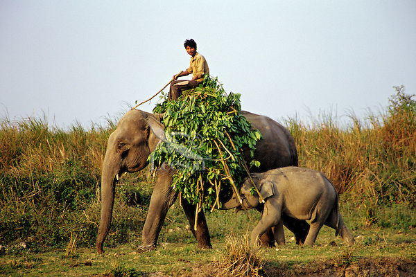 India--using asian elephant to carry load.