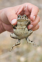Amargosa toad, Bufo nelsoni.  The species is described as sensitive and imperiled by the State of Nevada and U.S. Bureau of Land Management, but is not listed as an Endangered Species.  Oasis Valley, near Beatty, Nevada.