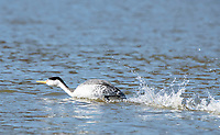 Clark's Grebes, Aechmophorus clarkii, runs across the water on Upper Klamath Lake, Oregon